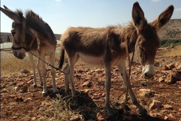 Benessere di asini e cavalli